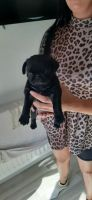 Pug Puppies for sale in Denver, CO, USA. price: NA