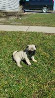 Pug Puppies for sale in Sacramento, CA, USA. price: NA