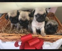 Pug Puppies for sale in Lansing, MI, USA. price: NA