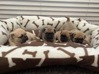Pug Puppies for sale in Los Angeles, CA, USA. price: NA