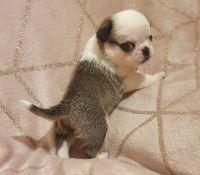 Pug Puppies for sale in Miami, FL 33132, USA. price: NA