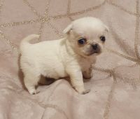 Pug Puppies for sale in Clifton, NJ 07014, USA. price: NA