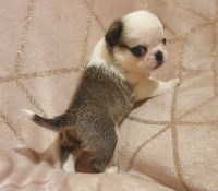 Pug Puppies for sale in Bowling Green, OH 43402, USA. price: NA