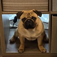Pug Puppies for sale in 4962 Winterbury Dr, Mays Landing, NJ 08330, USA. price: NA