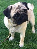 Pug Puppies for sale in Bartow, FL, USA. price: NA