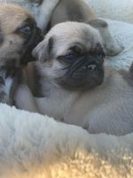 Pug Puppies for sale in 2161 Riverwood Dr, Okemos, MI 48864, USA. price: NA