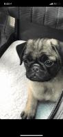 Pug Puppies for sale in Southwest Philadelphia, Philadelphia, PA, USA. price: NA