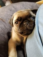 Pug Puppies for sale in Aurora, CO, USA. price: NA