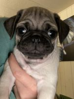 Pug Puppies for sale in Orange County, CA, USA. price: NA