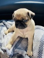 Pug Puppies for sale in Phoenix, AZ, USA. price: NA