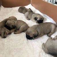 Pug Puppies for sale in Godfrey Ave S, Fort Payne, AL 35967, USA. price: NA