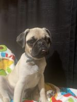 Pug Puppies for sale in Riverside, CA, USA. price: NA