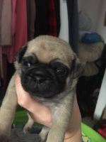 Pug Puppies for sale in Farmingdale, ME 04344, USA. price: NA