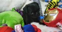 Pug Puppies for sale in McKinney, TX, USA. price: NA