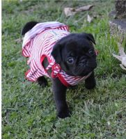 Pug Puppies for sale in 9840 Fondren Rd, Houston, TX 77071, USA. price: NA