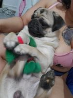 Pug Puppies for sale in The Bronx, NY, USA. price: NA