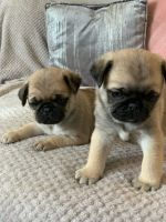 Pug Puppies for sale in Springfield, IL, USA. price: NA