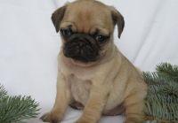 Pug Puppies for sale in Miami, FL, USA. price: NA