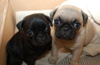 Pug Puppies for sale in Wisconsin Rapids, WI, USA. price: NA