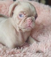 Pug Puppies for sale in Newark International Airport St, Newark, NJ 07114, USA. price: NA
