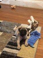 Pug Puppies for sale in Elizabeth, NJ, USA. price: NA