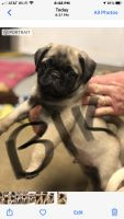 Pug Puppies for sale in Needville, TX 77461, USA. price: NA