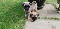 Pug Puppies for sale in Illiopolis, IL 62539, USA. price: NA