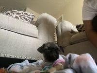 Pug Puppies for sale in E Kansas Dr, Aurora, CO 80012, USA. price: NA