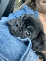 Pug Puppies for sale in Berkeley Heights, NJ 07922, USA. price: NA