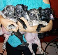 Pug Puppies for sale in El Centro, CA, USA. price: NA