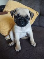 Pug Puppies for sale in Covina, CA, USA. price: NA