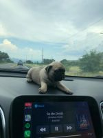 Pug Puppies for sale in Tucson, AZ, USA. price: NA