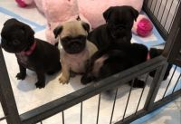 Pug Puppies for sale in Missouri City, MO, USA. price: NA