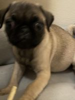 Pug Puppies for sale in Columbus, OH, USA. price: NA
