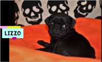 Pug Puppies for sale in Tallahassee, FL 32304, USA. price: NA