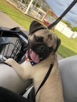 Pug Puppies for sale in Dade City, FL, USA. price: NA