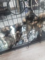 Pug Puppies for sale in Victorville, CA 92394, USA. price: NA