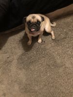 Pug Puppies for sale in Las Vegas, NV, USA. price: NA