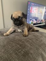 Pug Puppies for sale in Westbury, NY, USA. price: NA
