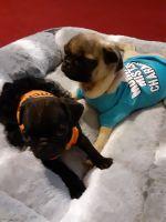 Pug Puppies for sale in Valencia, Santa Clarita, CA, USA. price: NA