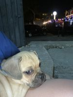 Pug Puppies for sale in Austin, TX, USA. price: NA