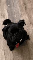 Pug Puppies for sale in Escondido, CA, USA. price: NA