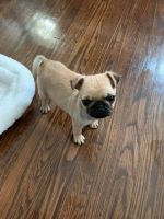 Pug Puppies for sale in Harrisburg, PA, USA. price: NA