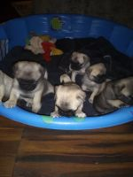 Pug Puppies for sale in 1737 W Jefferson Pike, Murfreesboro, TN 37129, USA. price: NA