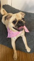 Pug Puppies for sale in Bastrop, TX 78602, USA. price: NA