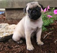 Pug Puppies for sale in Texas City, TX, USA. price: NA