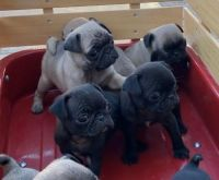 Pug Puppies for sale in Colorado Springs, CO, USA. price: NA