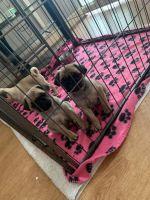 Pug Puppies for sale in Boston, MA, USA. price: NA