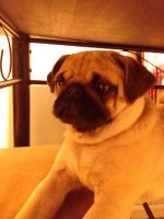 Pug Puppies for sale in Cuyahoga Falls, OH, USA. price: NA