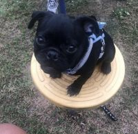 Pug Puppies for sale in Windsor Mill, Milford Mill, MD 21244, USA. price: NA